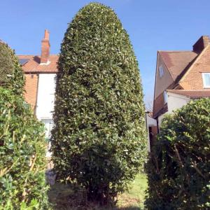 Hedge Maintenance Surrey
