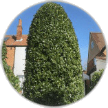 Hedge Trimming Ashtead