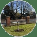 tree-planting-in-oxshott