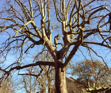 Residential Tree Pruning Job Lee