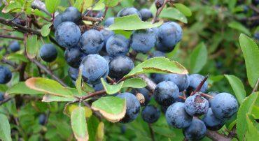 Blackthorn Prunus spinosa